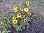 Native Prairie Flower, The Black Eyed Susan